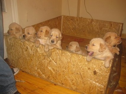 golden retriever puppies for sale more info call 01271364365