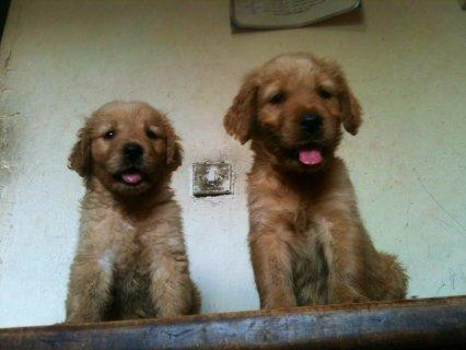 Golden Retriever puppies for saling