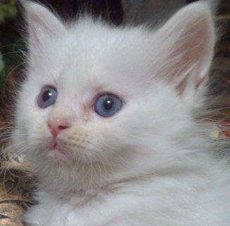 قطط جميلة عيون زرقاء