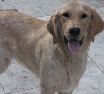 كلب جولدن رتريفر للبيع Golden for sale