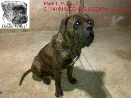 mastiff*