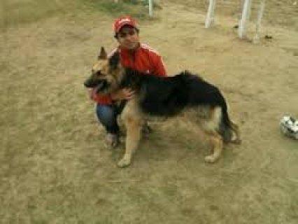 كلب جيرمن عمر4شهور مطعم ومرخص والكلب شرس