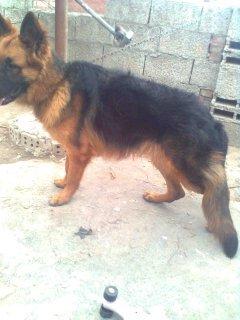 كلبه جيرمان 4 شهور ديل فى الارض خشب عريض