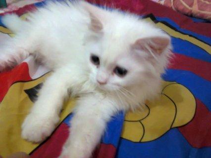 للبيع قطط شيرازي مون فيس بيور عمر شهرين