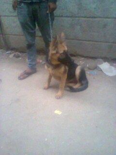 كلبه جيرمان 4 شهور شقية