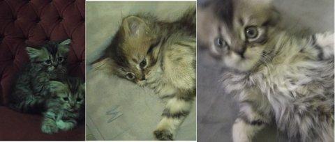 قطط شيرازى هاف بيكى بالقاهره و الجيزه للبيع و بسعر مغرى