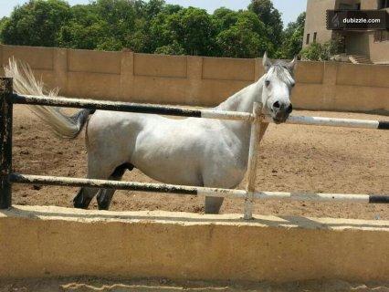 حصان عربي اصيل للبيع