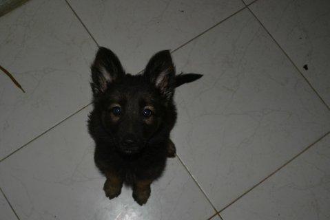 كلبة جرمن شبرد 60 يوم للبيع