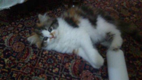 قطة كاليكومون حامل من هيمالايا اورانج