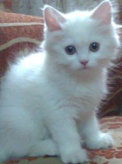 قطه شرازى للبيه فى القاهرة
