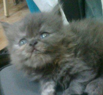 4 قطط شيرازى هاف بيكى من اب روسى