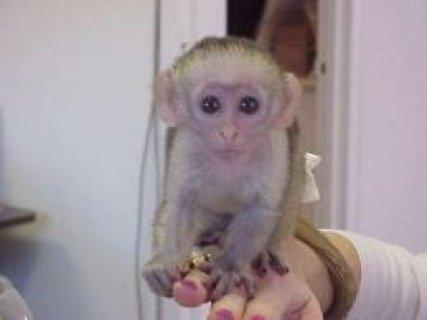 طفل القرد قرد متاح لإعادة صاروخ موجه