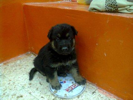 كلب جيرمن شيبرد  السعر 1200ج قابل للتفاوض عمره 35يوم السعر1200ج