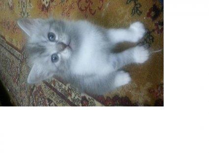 قطط شيرازي  للبيع بالقاهرة