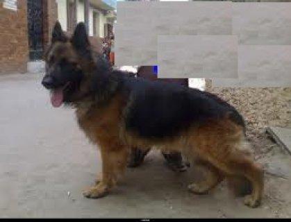 للبيع كلب جيرمن شيبرد كسحة وديل علي الارض