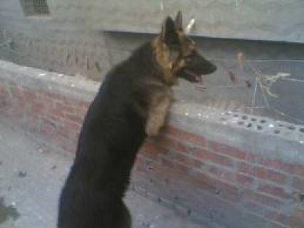 بيع كلب جيرمن تقليب عالى لدواعى السفر