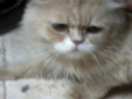 اجمل قط بيكى فيس مشمشى وهادئ
