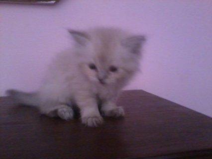 قطة شيرازى شنشيلا للبيع