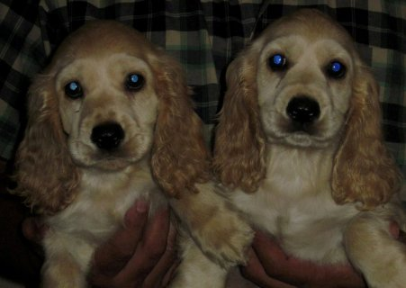 Fors Sale: Pure Cocker Puppies