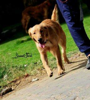 كلب جولدن مميز للبيع   1700le