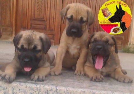 للبيع كلاب كين كورسو جراوى