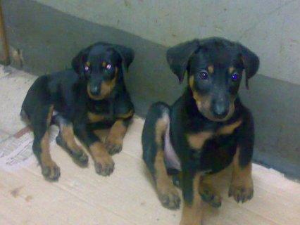 كلاب دوبر مان للبيع بسعر مغرى