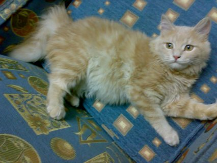 قطة شيرازى 8 شهور