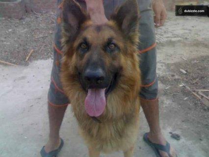 كلب بلجيكي بيور تقليب عالي حراسة وطاعة وشراسة بالامر