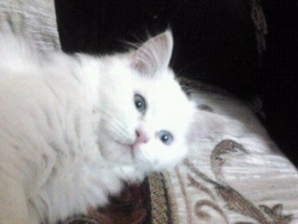 قطط شيرازي للبيع وذكور للزواج