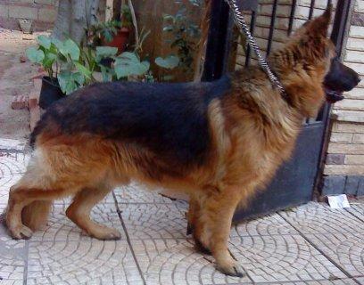 للبيع كلب جيرمن بيور كسحة وديل علي الارض الوانات حمرة