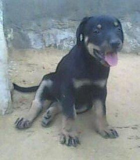 كلب  زكر دوبر للبيع فى القاهرة