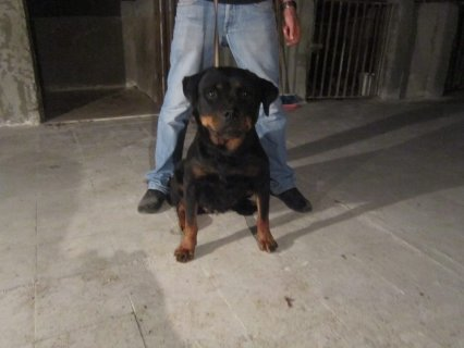 best females rott for sale with fady butcher