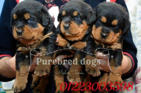Baby Ruth Wheeler dogs