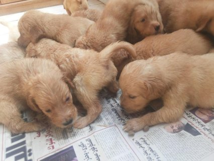 Golden retreivers for sale