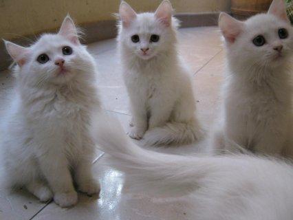 مفاجئه 5 قطط شيرازى ب700