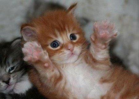 قطط شيرازى باشكال كثيره وجميله وبسعر جميل