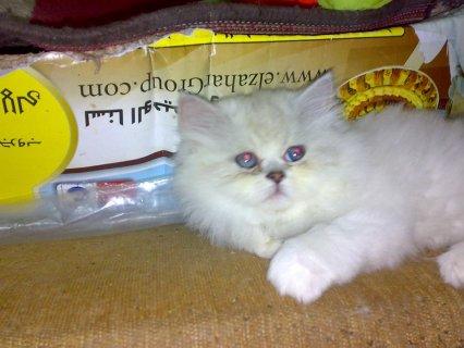 قطط همالايا للبيع