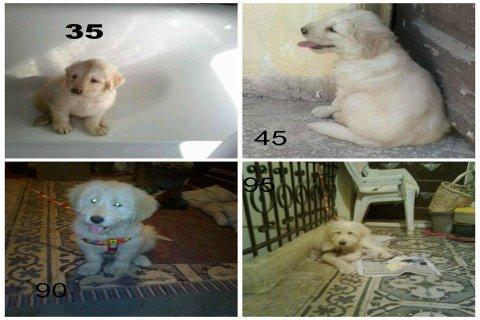 كلب ريتريفر للبيع لظروف السفر ........