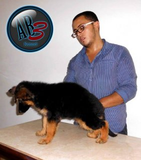 .for sale 48 days puppies :)
