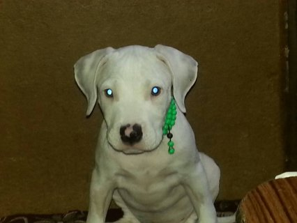 صور For Sale Male Americn PitBull Pure  1