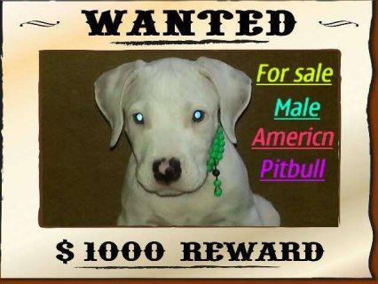 For Sale Male Americn PitBull Pure  The Fathere Suzer