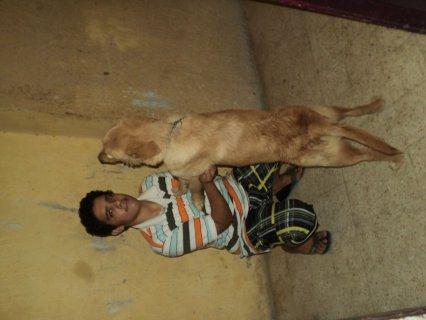 كلبة جولدن للبيع