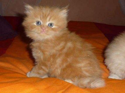 يوجد قطط لبيع شيرازى وسيامى ورومى باشكال مختلفه وكثيره
