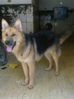 كلب جيرمن  فرصه 10شهور