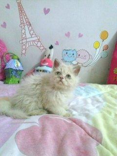 للبيع بوسى اجمل واشقى قطة هاف عمر شهرين0224500254