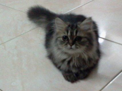 قطه شرازى عمرها شهرين و نصف - للبيع
