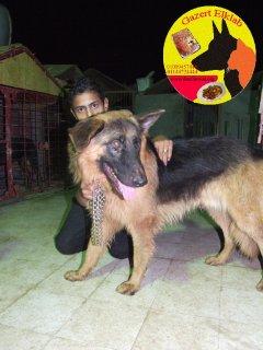 كلاب للبيع دكر شيرمن 10 شهور