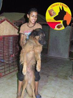 كلاب للبيع دكر شيرمن سنة