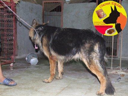 كلاب للبيع دكر شيرمن 70 شهور