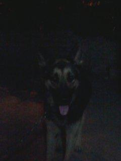 كلب جيرمن شيبرد للبيع لظروف الصفر